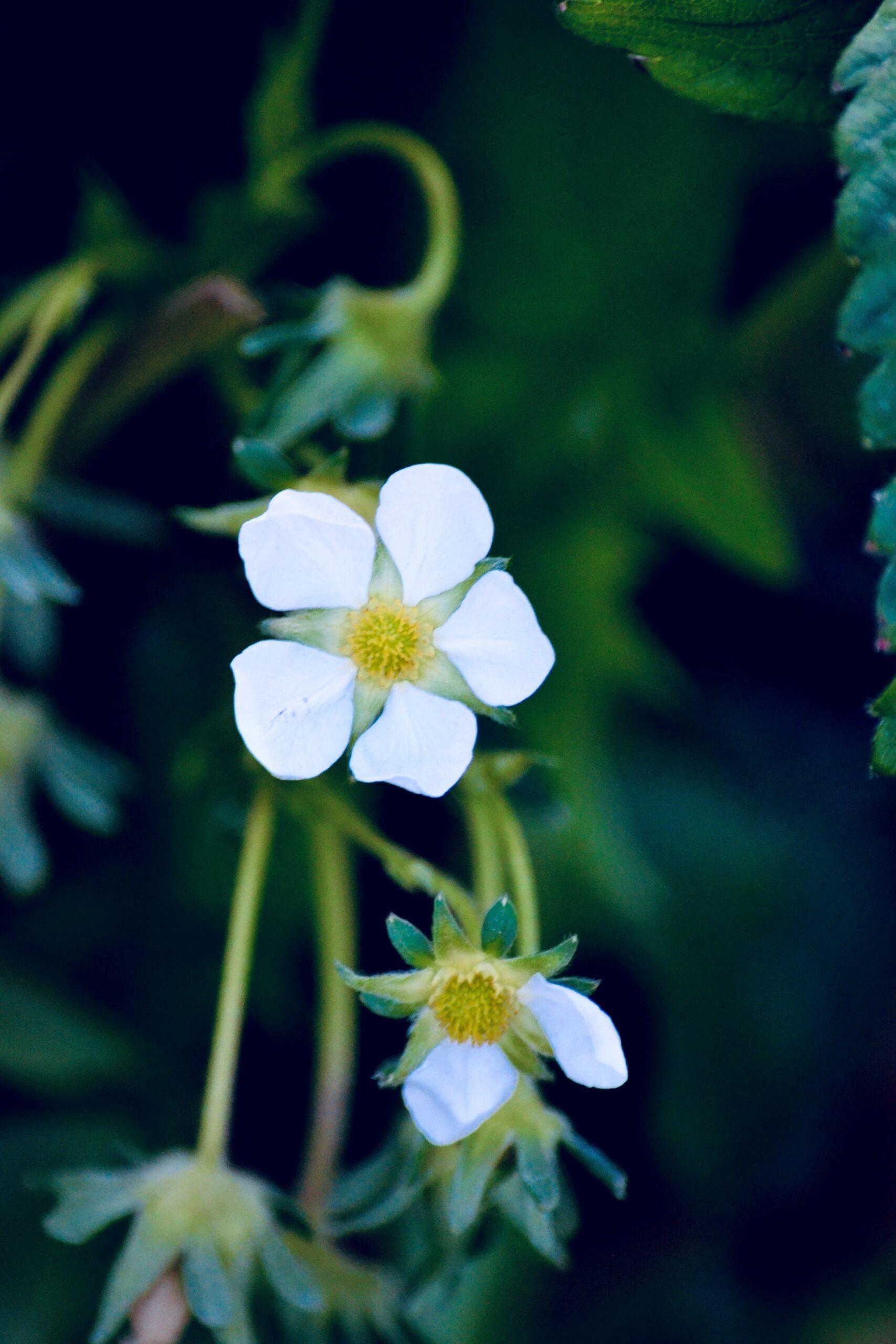 Smuk blomst